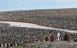 Colony of King penguins in South Georgia Island